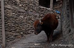 DSC_0419 (Meir Naamat) Tags: nepal animals כפר חיה upperpisang מקומי עתיק aroundannapurnatrack