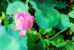 Lotus (M.Yuriko.M) Tags: pink flowers flower green nature nikon lotus loto  lotusflower  summer pinklotus d3000 lotosblume
