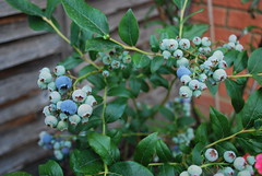 fruit blueberry fruitbush