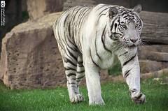 White Tiger -   (Abdulmalik-KSA) Tags: white tiger     anmel