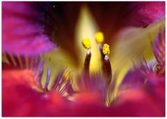 Tropaeolum (kernowrules) Tags: red macro english yellow canon garden purple cottage 60mm tropaeolum f28 nasturtium 50d kernowrules