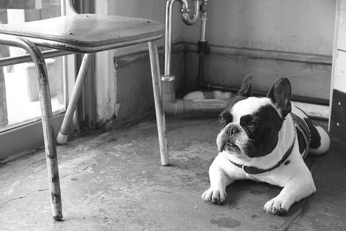 French Bulldog Chikuwa monotone