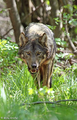 approaching wolf (mk_lynx) Tags: wild mountains eye nature fauna forest mammal grey living wolf europe european wildlife gray large free v slovenia contact lupus volk carnivore slovenian canis canid dinaric naravi sgrey divjini