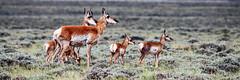 The watchers        147 (trekok, enjoying) Tags: antelope does fawns wy