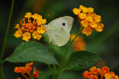 Pieris Brassicae Catoleuca / The Cabbage Butterfly