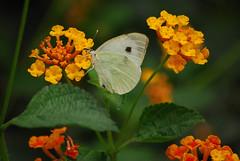 Pieris Brassicae Catoleuca / The Cabbage Butterfly (justavessel) Tags: macro butterfly israel cabbagebutterfly pierisbrassicae abigfave anawesomeshot kunstplatzlinternational dragondaggeraward