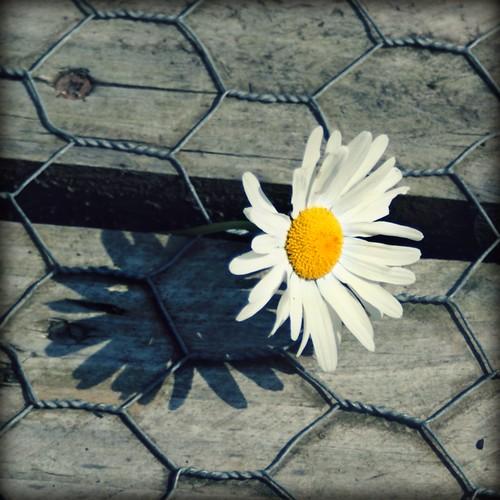 Charday's Daisy by F.i.n.i.s.h.i.n.g ~ u.p