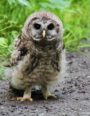 Oh No, You Again! (Eric_Z) Tags: canada bc young owls barredowl tricities owlet strixvaria ef70200mmf4lisusm canoneos7d