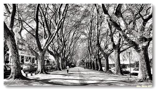 Avenida dos Plátanos b/w by VRfoto
