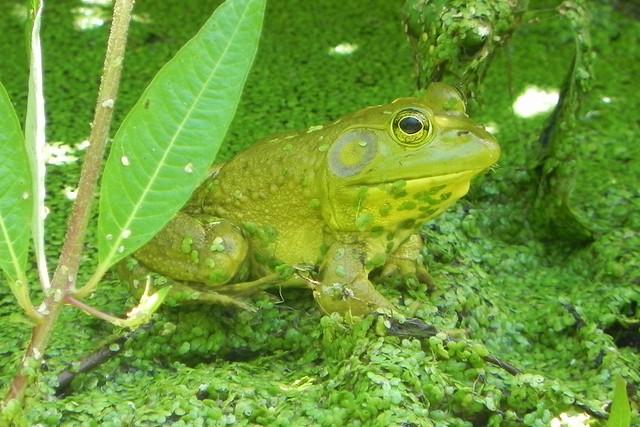 Beautiful Bullfrog