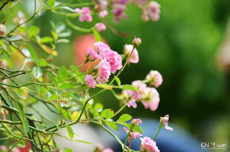 玫瑰園。迷你薰衣草07.jpg