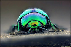 another birlin' beetle (Insect~O~Saurus) Tags: portrait macro nature scotland beetle mpe65mm fluorescentlamp focusstacked chrysolinafastuosa canoneos500d deadnettleleafbeetle april2012 iainlawrie recordr:count=1 recordr:determiner=iainlawrie recordr:species=chrysolinafastuosa