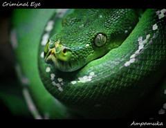 Criminal Eye /  (AmpamukA) Tags: macro tree green eye nature up animal kill close reptile snake criminal killer python     ampamuka