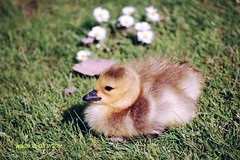 b a b y @ r e s t (wade in da water) Tags: baby canada bird nature beauty animals vancouver britishcolumbia pacificnorthwest gosling westcoast 200mm wonderfulworld d40 passionphotography nikond40 avianexcellence beautifulcapturegroup wadeindawater nikonpassion unlimitedphotos amemoryofourdailylife
