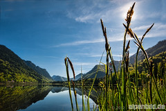 Grasses at Lake Weitsee - expl..4 (alpenbild.de) Tags: wood morning sun mountain lake mountains alps reflection nature water berg forest landscape bayern bavaria see spring weed woods wasser natur berge alpen landschaft sonne wald reflexion morgen spiegelung schilf frhling topaz morgens gebirge 50fav chiemgaueralpen reitimwinkl chiemgaualps