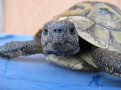 tartaruga - turtle (Uberto) Tags: italien italy italia turtle tartaruga italie italians ube uberto ubefoto