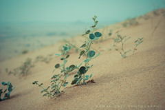 Seedling نبتة (Ayman Zaid أيمن زيد) Tags: nature dunes seedling رمل نبتة كثبان