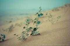 Seedling  (Ayman Zaid  ) Tags: nature dunes seedling