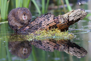 Strike a pose .... (Water Vole)