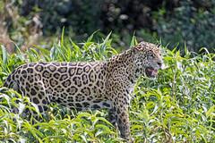 Proud male jaguar (Tambako the Jaguar) Tags: jaguar big cat male standing plants vegetation river profile wildanimal wild wildlife nature pantanal matogrosso brazil nikon d5