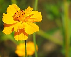 Yellow beauty (sabrina. G) Tags: cosmea gelb licht bokeh garten makro