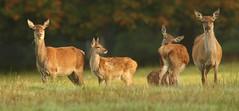 Scottish Red Deer. (Sandra Standbridge.) Tags: scotland reddeer outdoor animals wildandfree mammal pasture earlymorning adults female calf