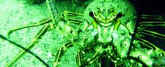 Panulirus argus (MaKuriwa) Tags: crustaceos