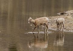 FOLLOW ME (Sandy Stewart) Tags: autumn lambs rockymountainbighornsheep ewes wildlife nature colour water streams wild sandystewartphotography northamericanwildlife