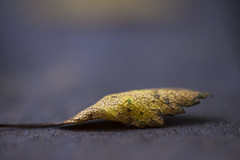 3/365 - Leaf (Inelund) Tags: 365 365days 365project nature leaf macro dof photography norway canoneos5dmarkii canonphotography canon colors autumn fall