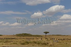 10078108 (wolfgangkaehler) Tags: 2016africa african eastafrica eastafrican kenya kenyan masaimara masaimarakenya masaimaranationalreserve wildlife grassland grasslands migration migrating antelope antelopes gnu wildebeestmigration wildebeest wildebeestherd wildebeests zebras plainszebrasequusquagga burchellszebra burchellszebraequusquagga burchellszebras