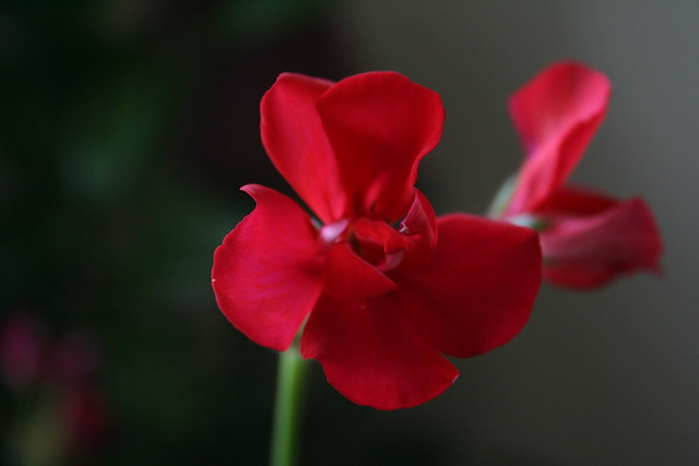 Red Geranium Bloom: Indoor Beauty