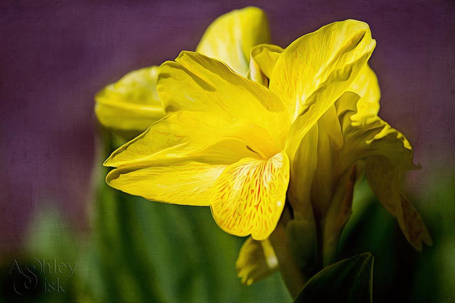Yellow Lilly -PB RS