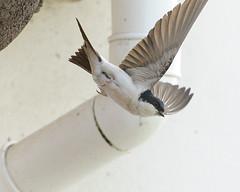 HouseMartin-DSC_4785 (dow.pic) Tags: nature wings nikon nest wildlife flight birdinflight housemartin britishbirds d3s dowpic