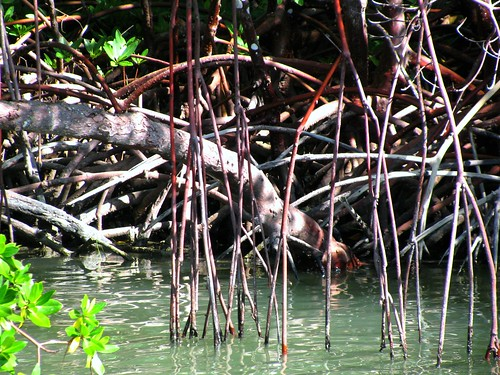 IMG_5717-Estero-Bay-mangrove-roots