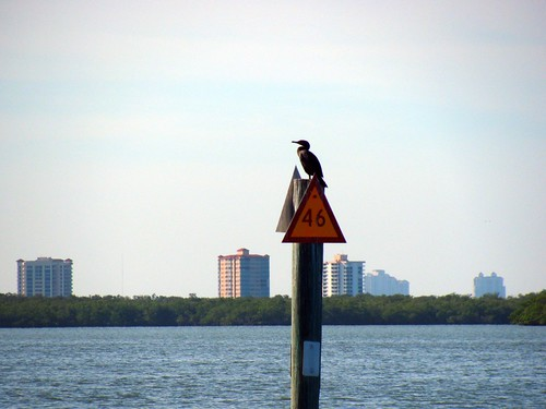 IMG_5674-Estero-Bay-cormorant