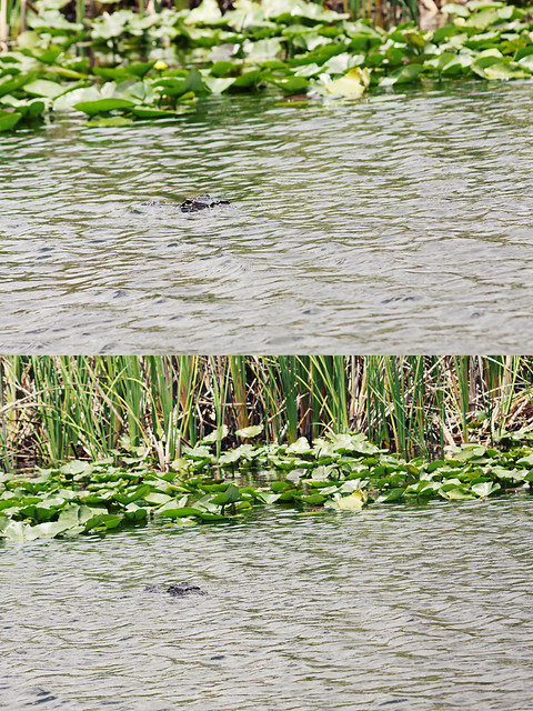 Everglades Holiday Park gator diptych 2