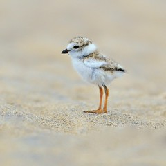 chick/click (Kenny Lee's Wild Images) Tags: nature photography flickr photos wildlife newengland nikkor pipingplover afs newburyport plumisland 400mm sandypoint ifed f28d kenlee nikond90 nikon400mmf28