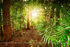 in australian rainforest (Pawel Papis Photography) Tags: light sun tree rain forest track ray palm