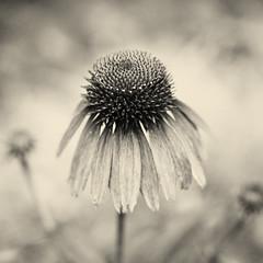 . (Ansel Olson) Tags: flower one