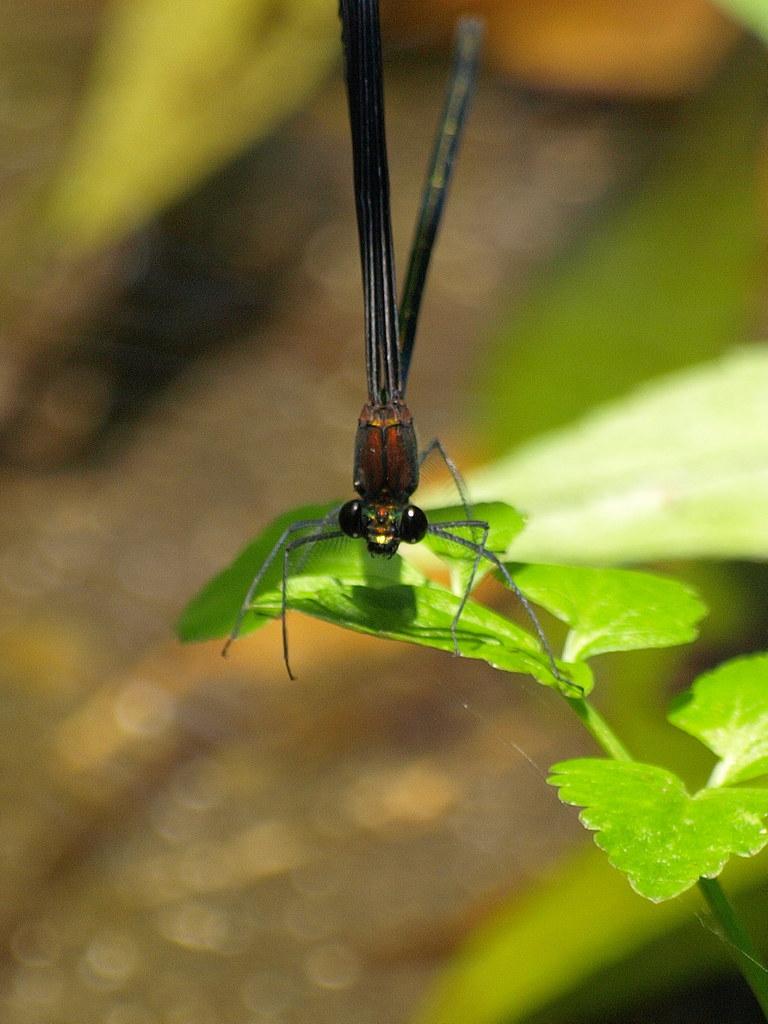 Calopteryx atrata 02