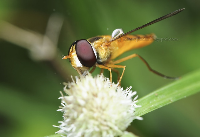 Hoverfly..