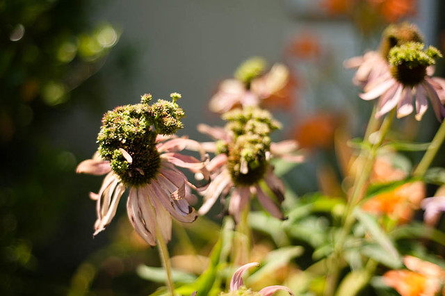 double coneflowers