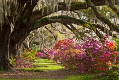 Charleston Plantation Explodes with Spring Color (Mark VanDyke Photography) Tags: old family flowers trees red green classic beautiful gardens landscape outdoors spring flora colorful purple bright vibrant south seasonal southcarolina magenta sunny charleston southern coastal lane plantation spanishmoss romantic wildflowers azalea blooms camellia botany touristattraction drayton blooming liveoaks lowcountry magnoliaplantation magnoliagardens charlestoncounty ancientoaks traveldestination magnoliaplantationgardens johngrimkedrayton
