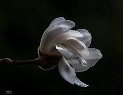 Magnolia,VanDusen Botanical Gardens (gks18) Tags: white flower vancouver garden spring bloom magnolia vandusen