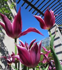 Friday Flower Power (langkawi) Tags: blue sky purple tulips lila langkawi flowerscolors