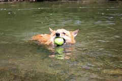 Glen Highland Farm (fiver753) Tags: dog newyork dogs wet water creek swim ball fun happy spring corgi fetch ein glenhighlandfarm caninecountrygetaway