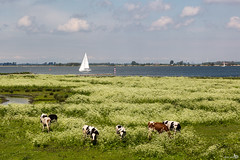 Cow parsley and Cows (BraCom (Bram)) Tags: holland netherlands sailboat cows nederland haringvliet keck koeien zeilboot cowparsley zuidholland goereeoverflakkee anthriscussylvestris wildchervil fluitenkruid wildbeakedparsley denbommel hedgeparsley bracom