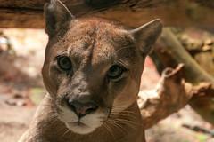 Moutain lion head (koalie) Tags: vacation eyes costarica puma mountainlion heredia lapazwaterfallsgarden 2012springvacation