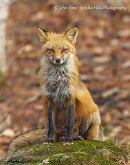 Portrait of a Red Fox (Jericho Hills Photography) Tags: red wild cute nature beautiful beauty smart animal closeup rural woodland fur mammal outdoors furry natural sweet wildlife hunting newengland canine whiskers fox wildanimal hunter predator mammals sneaky alert scavenger carnivore stealthy naturephotography redfox vulpesvulpes predatory wildlifephotography vulpes johnvose jerichohillsphotography