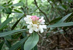 "Rhododendron blooms • <a style=""font-size:0.8em;"" href=""http://www.flickr.com/photos/92887964@N02/14028701739/"" target=""_blank"">View on Flickr</a>"